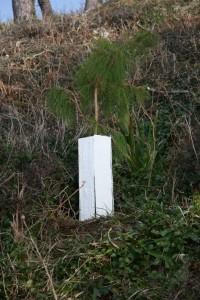 Monteray Pine